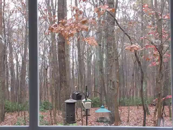 Squirrel Flying to Bird Feeders From Branch  11/10/15