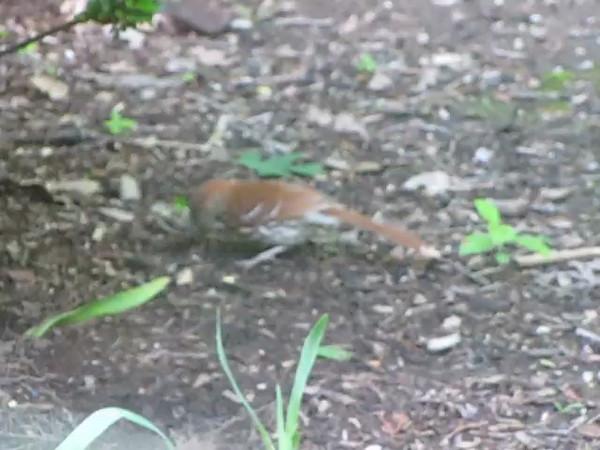 Brown Thrasher Eating Bugs - June 14, 2013