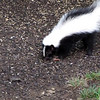 Striped Skunk Eating on Ground at Birdfeeder  8-11-09