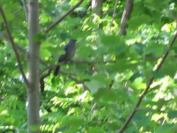 VIDEO:  Gray Catbird Singing - 5/11/14