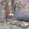 Male Pileated Woodpecker Chopping and Chomping on Stump 4-27-10<br /> Males have a red moustache on the sides of their face, females have black in the same area.