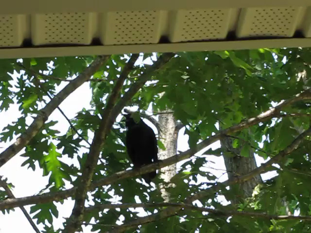 Crow Crowing & Cicada Chorus in Background - 5/30/13 I wonder what he had that twig for under his right foot.  Didn't seem to be important when he decided to leave.