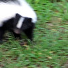Striped Skunk Digging in Grass  8-11-09