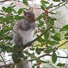 Squirrel Eating Holly Berries 1-26-12