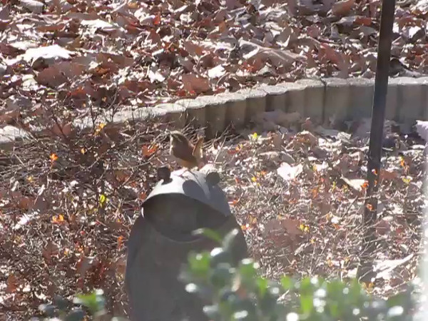VIDEO:  Praise Dancing Wren  12-7-15<br /> I wish you could hear the song that goes with this. It's a happy song!