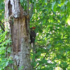 Pileated Woodpecker Hammering Away to Get to The Bugs  5-9-11