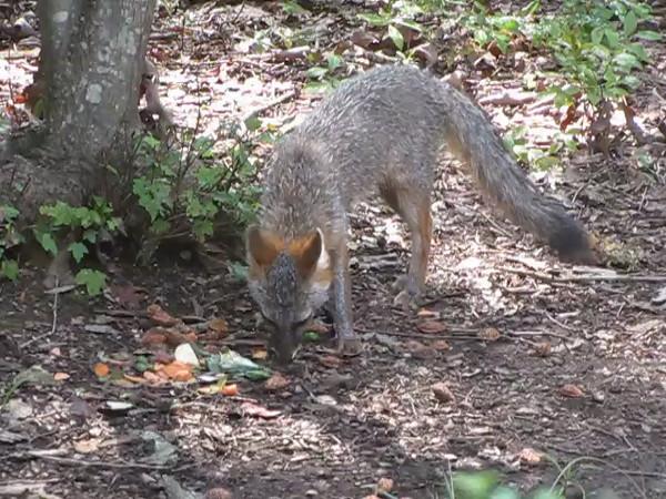 VIDEO:  Gray Fox Eating Veggie Scraps in Backyard - Picky Eater - August 7, 2013