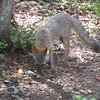 VIDEO:  Gray Fox Eating Veggie Scraps in Backyard - Picky Eater - August 7, 2013