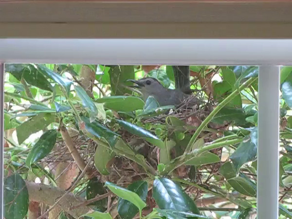 VIDEO: Mama Catbird Gettiing Nest Materials Settled In - 7/1/14