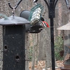 VIDEO: Male Pileated Woodpecker at Suet Feeder - 1/15/15<br /> Males have a red moustache on the sides of their face. Females are black.