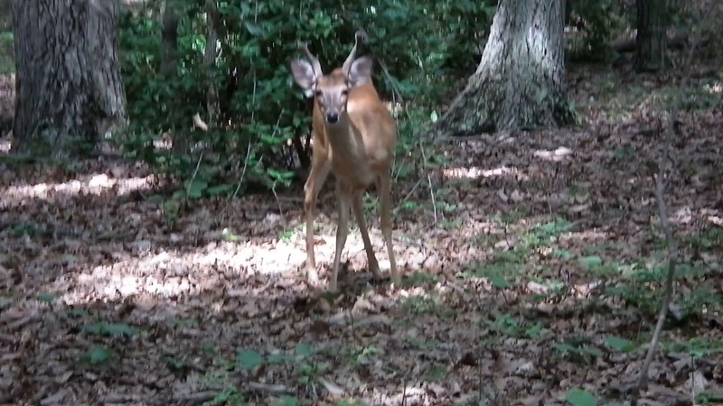 Young Male Deer with Fuzzy Antlers - 7/12/15