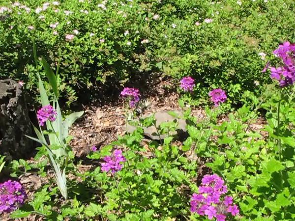 Eastern Tiger Swallowtail Feeding on Verbena - 6/22/13