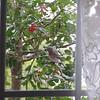 Eastern Bluebird Eating Holly Berries and Pine Siskins Flying In  1-26-11