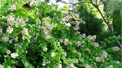 Butterflies on Chinese Abelia