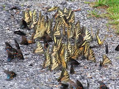 Butterflies Feeding on Salt