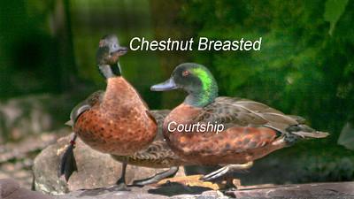 Ducks Videos