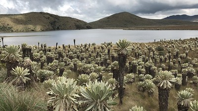 Espeletia pycnophlla at Lagunas El Voladero, 3770m