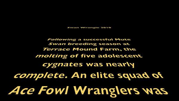 Swan Wrangling 2010