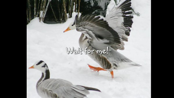 BAR-HEADED GEESE enjoy the seasons