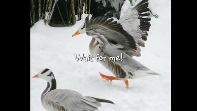 Geese - Videos about