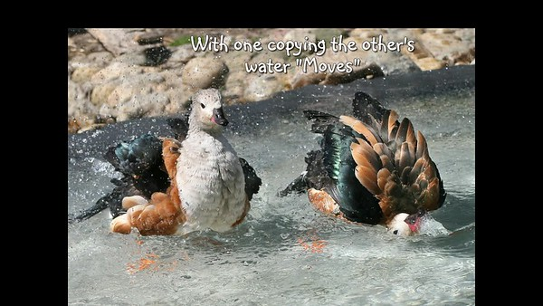 ORINOCO GEESE - Water Baths Galore!
