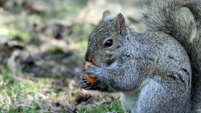 Eastern Gray Squirrel Eating A Cookie