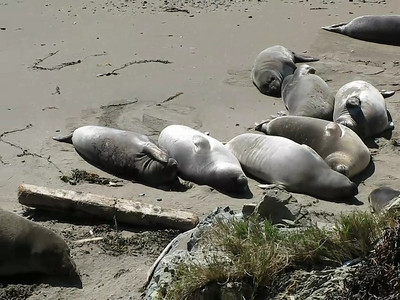 Elephant Seals 01