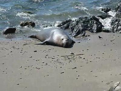 Elephant Seals 02