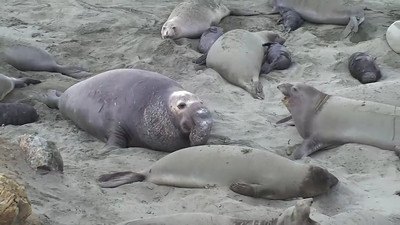Elephant Seals 03