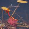 Cardinal Meadowhawks ovipositing, Sympetrum illotum