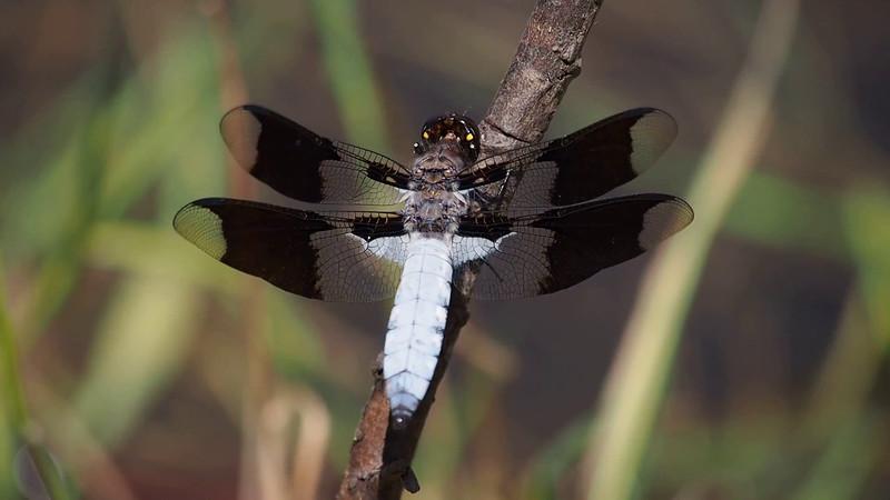 Common Whitetail breathing, Plathemis lydia