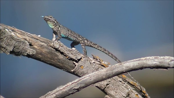 2015-06-14  Ornate Tree Lizard