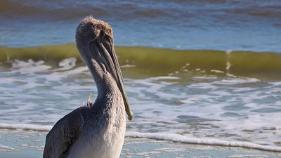 St Simons - Village - Pelican on Beach