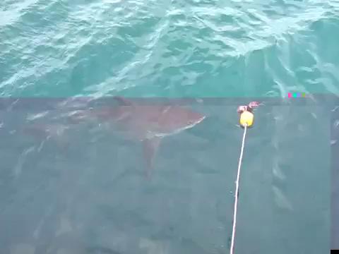 Shark Caging Gans Bai Video 08