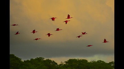 Scarlet Ibises in Trinidad: Caroni swamps - Port Spain