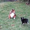 Alex 5 month sheltie running around Lily 12 plus year sheltie.