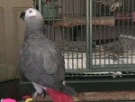 Oliver the African Grey Talking Video