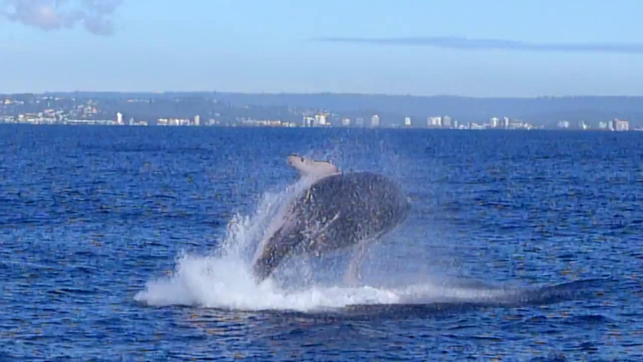 Whale Watching Sunshine Coast Video 2014
