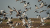 Snow Geese at Anahuac National Wildlife Refuge