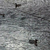 Video From Bridge of Ducks Riding the Waves - Ridgeview Park - Waynesboro, VA  12/9/12