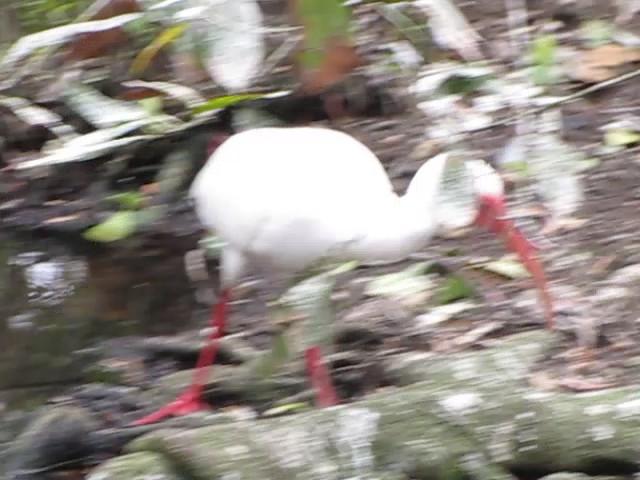 White Ibis - Brookgreen Gardens, Murrells Inlet, SC 3-25-11