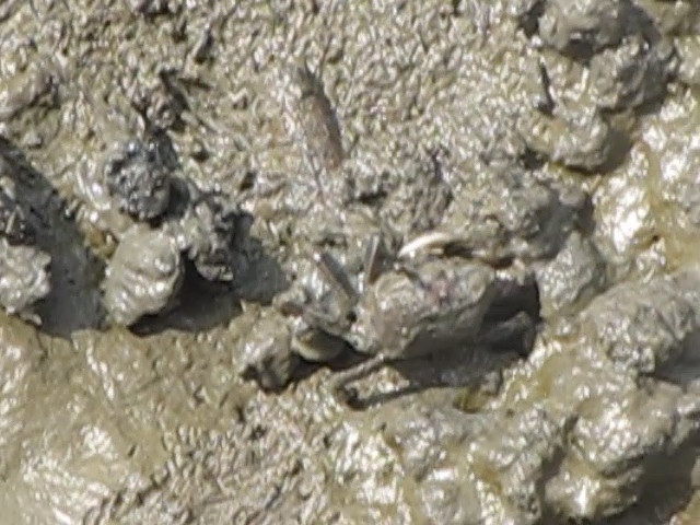 Mud Crab - Huntington Beach State Park, Murrells Inlet, SC 3-26-11<br /> Cute little guy coming out of the hole in the mud and then running back in with a chunk of mud to cover himself.
