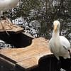 Cattle Egrets at Pond - Brookgreen Gardens, Murrells Inlet, SC  3-25-11