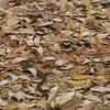 Yellow Rat Snake (Elaphe obsoleta quadrivittata) - Huntington Beach State Park, Murrells Inlet, SC  3-26-11