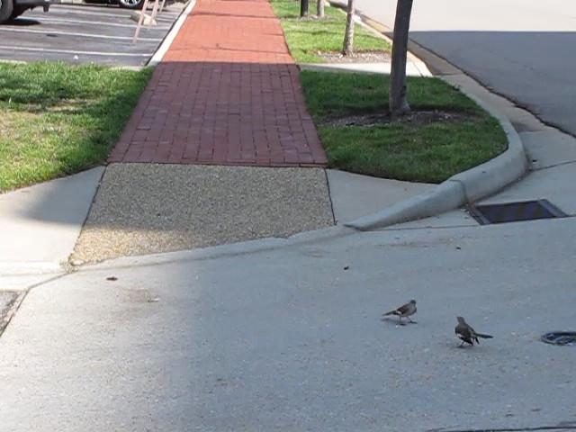 Fighting Mockingbirds - Portsmouth, VA  4-10-11