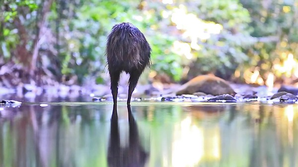 Cassowary in a creek