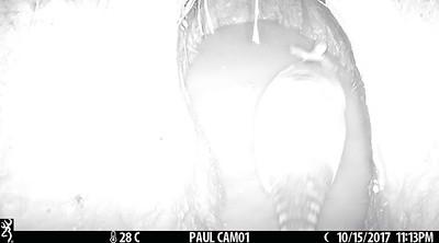 9-banded armadillo (Dasypus novemcinctus) bathing in mud hole