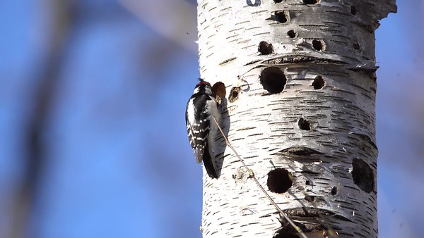 Woodpecker Building a Home
