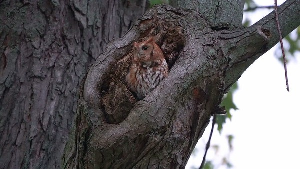 Eastern Screech Owl Enountering a Squirrel.