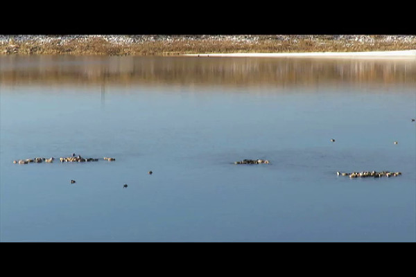 Northern Shovelers (video 3)